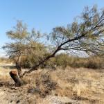 Tala de árboles nativos (algarrobos) que tiene consecuencias sobre la regulación de las crecientes de los ríos.