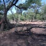Degradación del bosque por tala y sobrecarga animal.