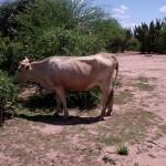 Sobrepastoreo que promueve la aparición de sectores de suelo descubierto (peladares).