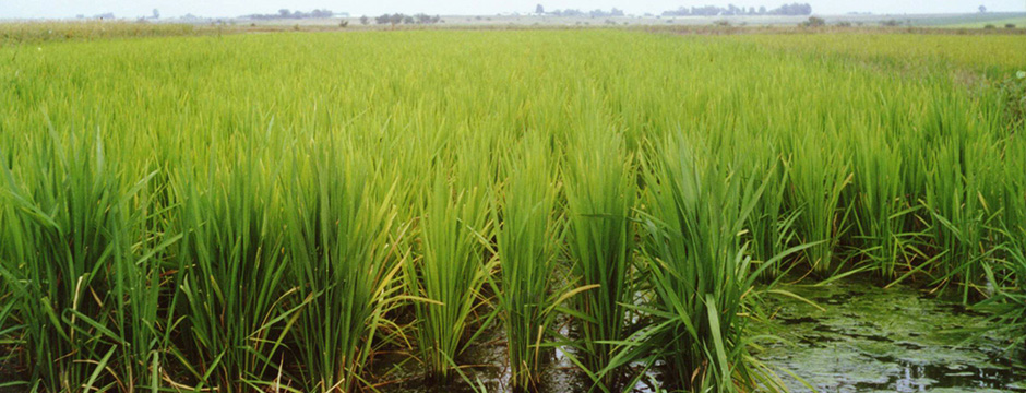 arroz(940x360)